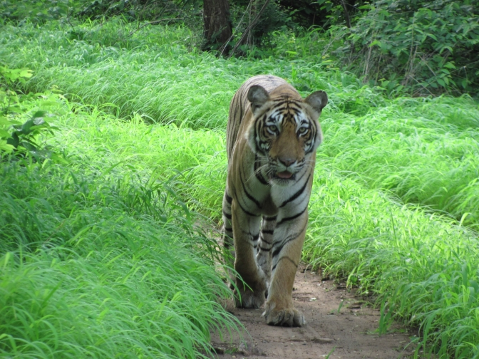 World Tiger Day: How Roads are Killing Tigers