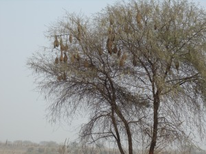 Photographed on a cold January morning, this tree is home for dozens of tiny weaver birds.
