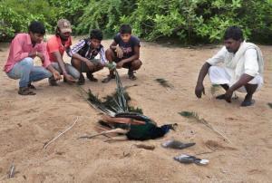 Helpless: peacocks poisoned in Telengana