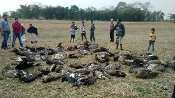One poisoned carcass, Fifty Five dead vultures