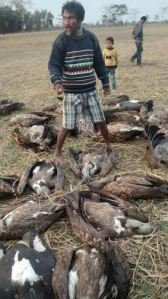 Vulture death Sivsagar Assam2