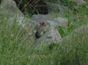 What Pikas and Marmots don't like