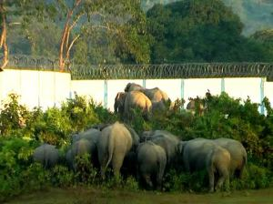 An elephant herd trying to break down the golf course wall.