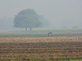Blackbuck in a field