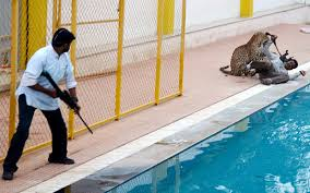 Leopard in an Indian school: leopard yes, attack, no!