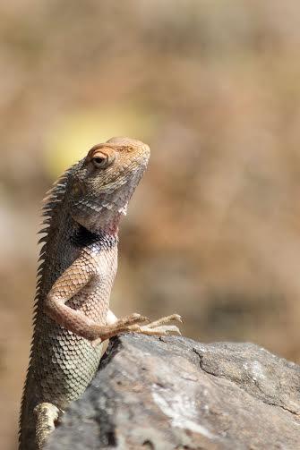 WeForWildlife- Girgit or Garden lizard
