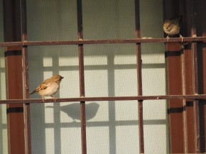 Looking for Sparrows on World Sparrow Day (andeveryday)