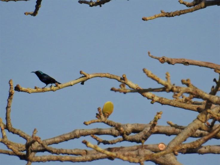 Sunbird on Semal Mar 30