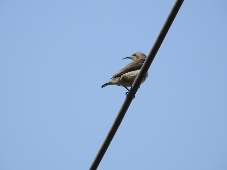 Sunbird_Female.JPG