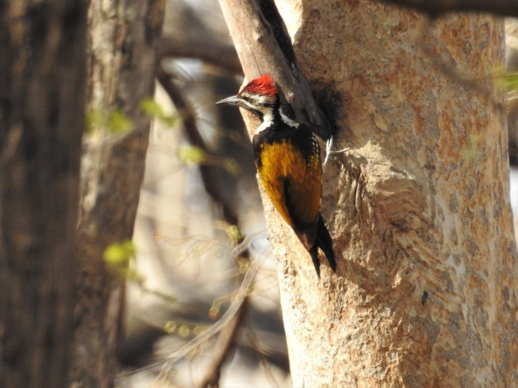 Golden Flameback