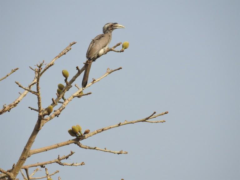 Grey Hornbill Semal Apr 2