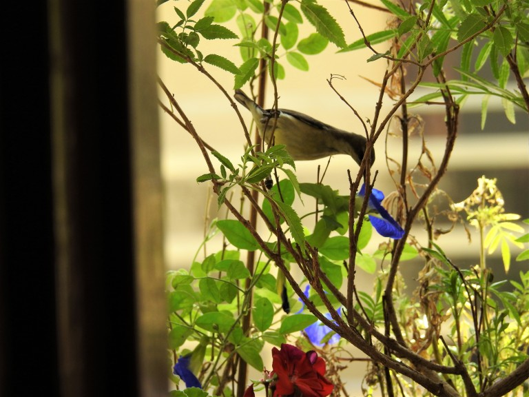 Sunbird Drinking Aparajita.jpg