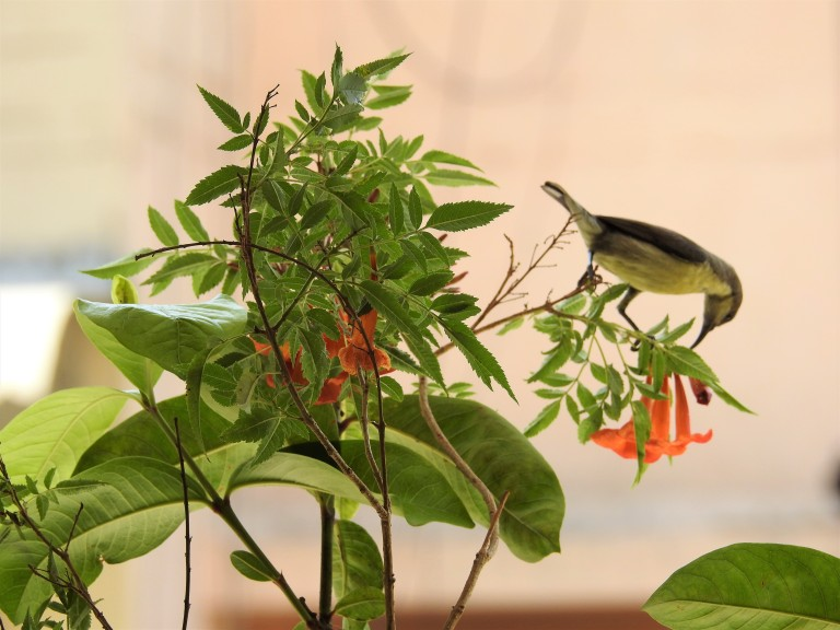 Sunbird F Tecoma 1.jpg