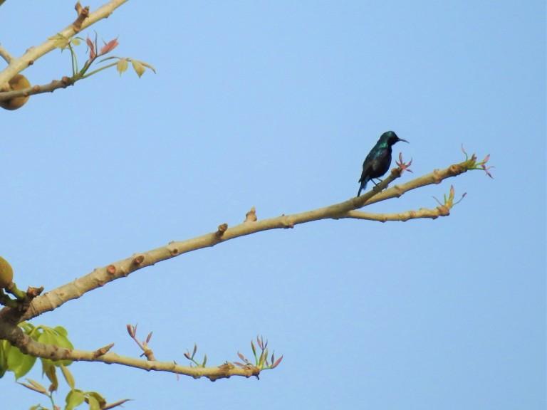 Sunbird Semal Apr 12  (2).jpg