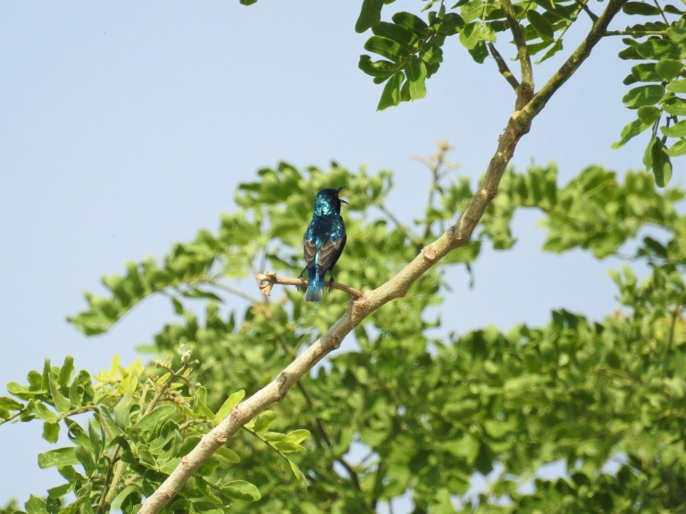 Sunbird Singing.jpg