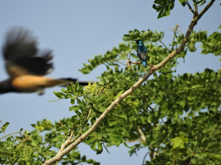 Sunbird Treepie