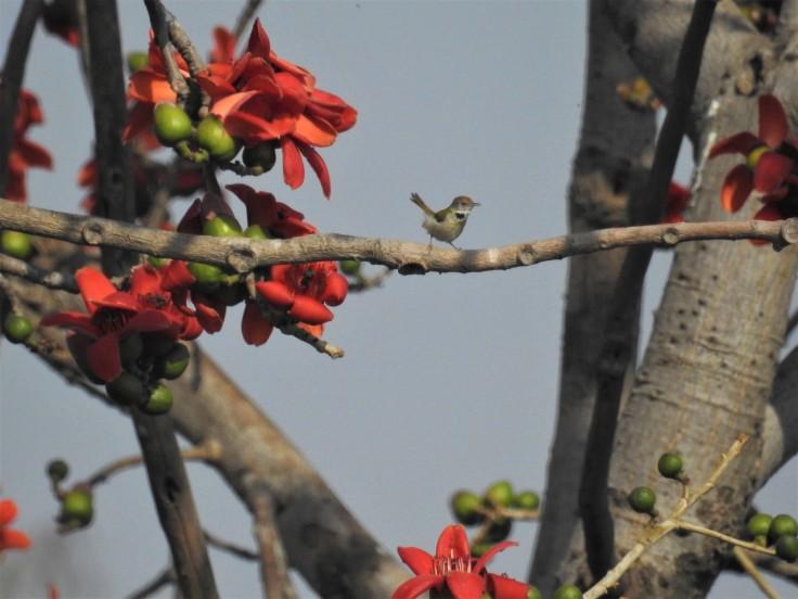 Tailorbird (3)