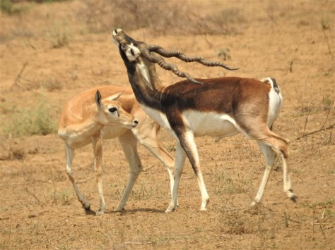Blackbuck Courting 1.jpg