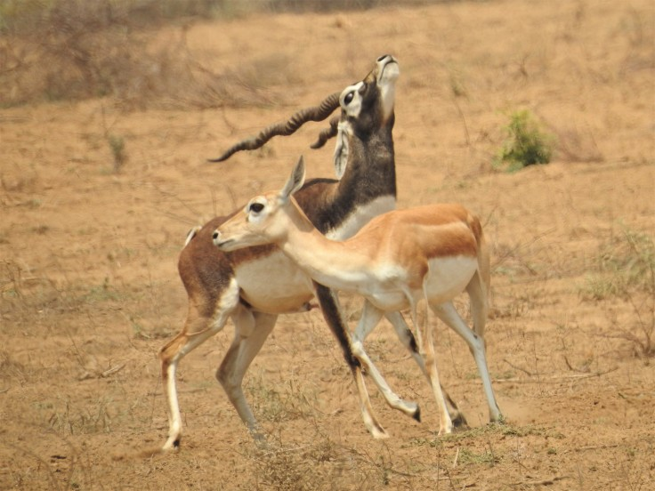 Blackbuck Courting 3.jpg