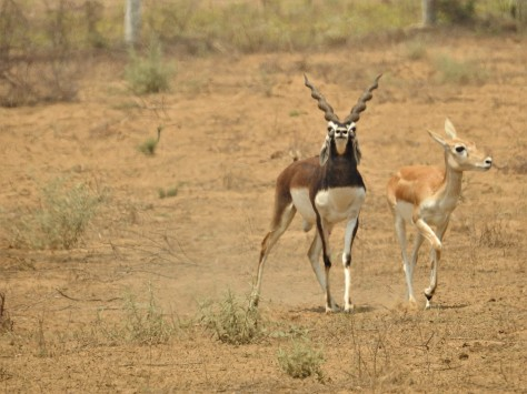 Blackbucks