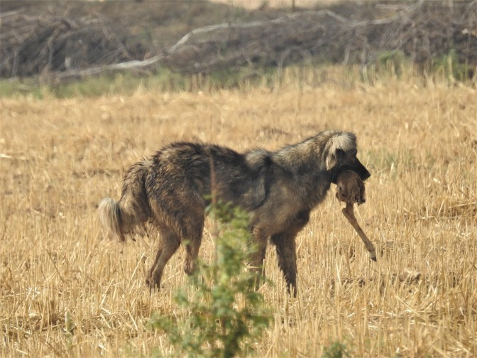 What shall we do with feral dogs?