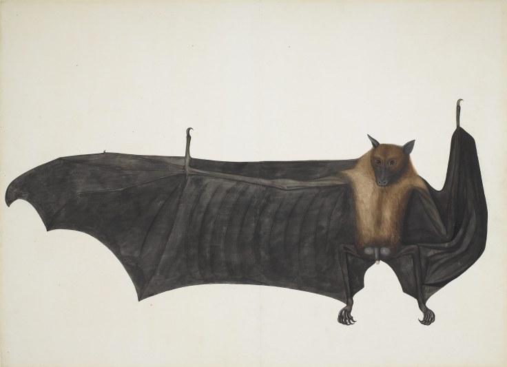 Fruit Bat Bhawani Das
