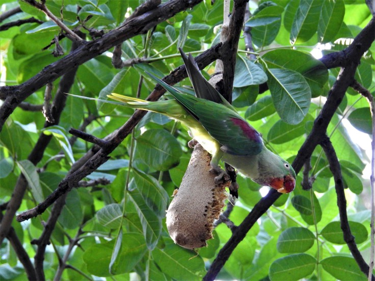 Alexandrine Parakeet Feeding Sausage Tree