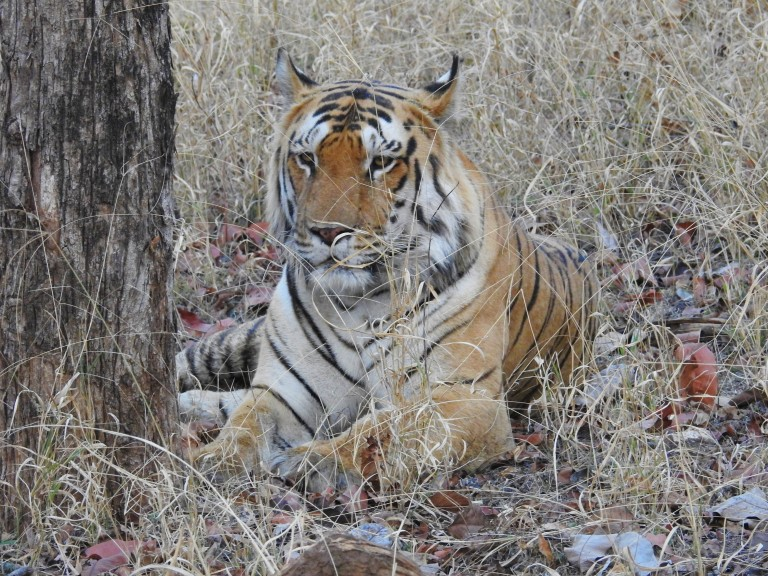 tiger last