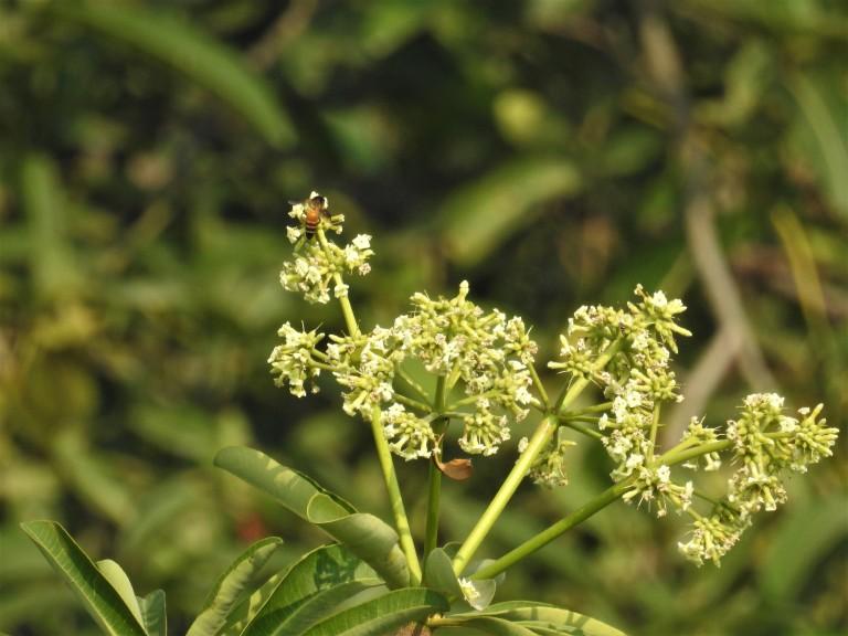 Bee saptaparni nov 16