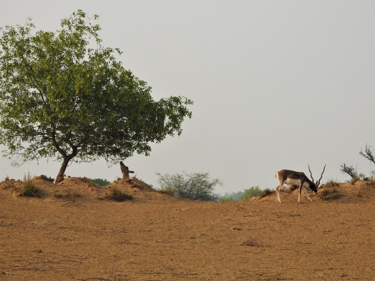 Nilgai Blackbuck (1)