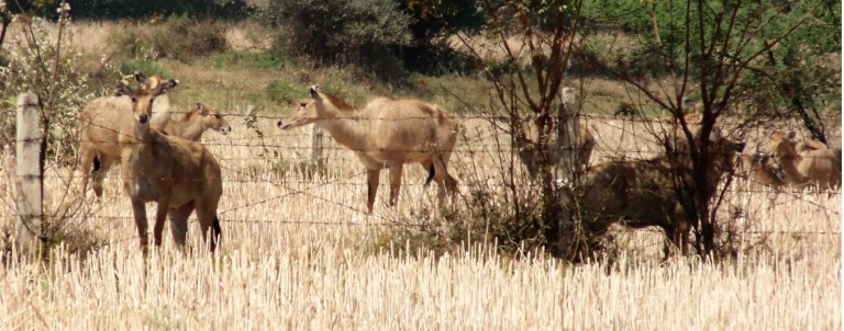 Nilgai in Field Crop (1)