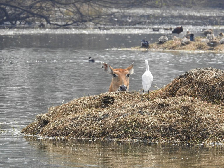 Nilgai water Sultanpur park (1)