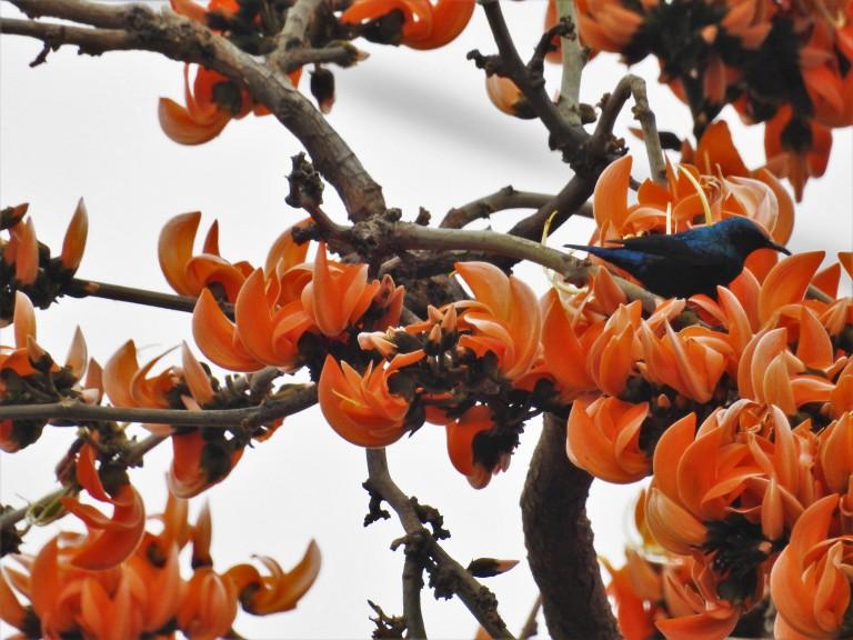 Palash sunbird