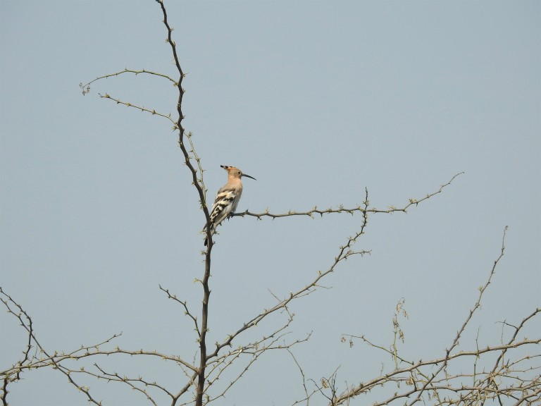 Hoopoe thorny tree